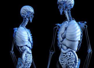 Lab-grown liver organoids